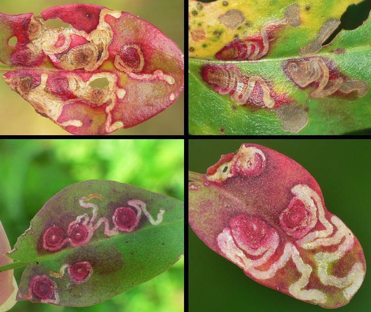 """Zusammenstellung besonders """"schöner"""" Minenformen: (Ampfer-Zwergminierfalter <i>Enteucha acetosae</i> an <i>Rumex acetosa</i>, Befallsbilder)"""