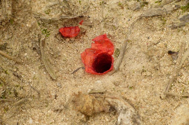 Hoplitis papaveris, mit Mohnblueten ausgekleidete Nistroehre