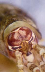 Lepismachilis y-signata
