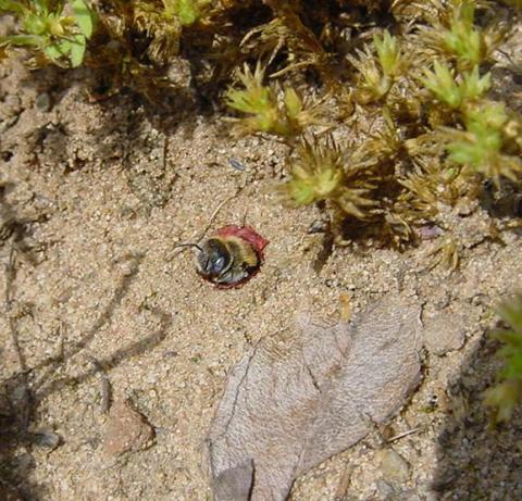 Hoplitis papaveris, Beobachtung in Honzrath-Hellwies 2004