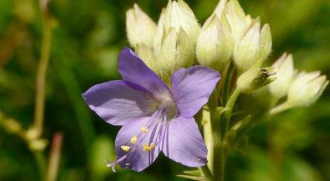 Himmelsleiter (Polemonium caeruleum) im Oberthaler Bruch